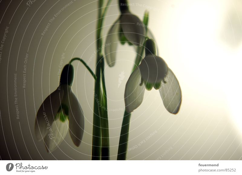Little bell in moonlight 2 Snowdrop Spring Wake up Plant Bell Blossom Green February March Garden Resurrection Frost Life