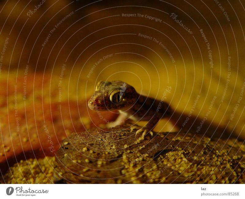 Gecko unlimited Khaki Saurians Grain of sand Claw Focal point Beige Ochre Multiple Badlands Gekko Stenodactylus orientalis dusty Shadow earth colours Desert