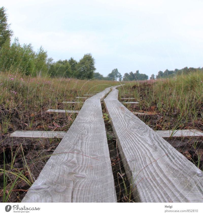 off the track... Environment Nature Landscape Plant Sky Summer Tree Bushes Wild plant Heather family Bog Marsh Lanes & trails Woodway Growth Authentic