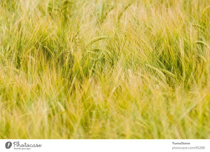 Nature Summer Nutrition Grass Wind Grain Agriculture Harvest