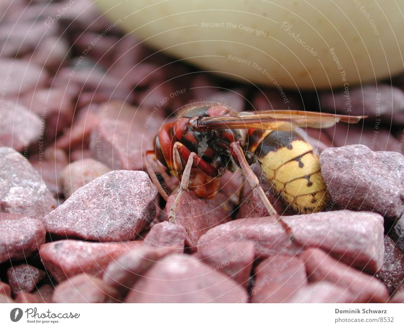 Insect Bee King Honey Pebble Wasps Sting Flying animal