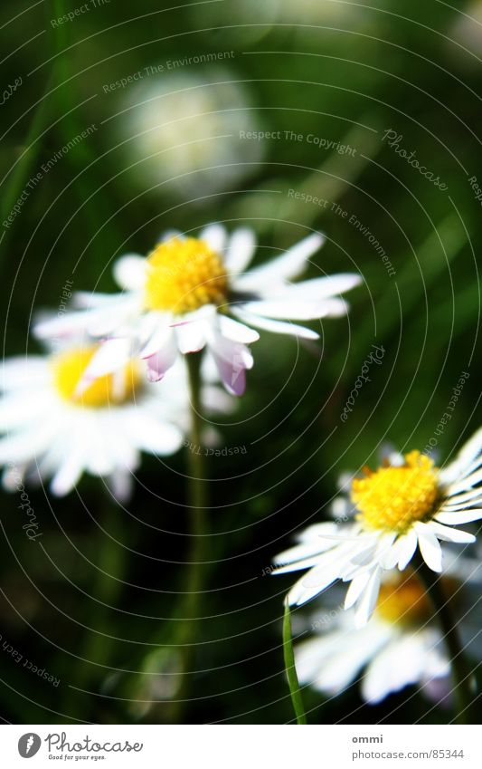 daisies Plant Flower Grass Blossom Meadow Simple Beautiful Small Cute Yellow Green White Happy Purity Nature Daisy Lawn Colour photo Exterior shot Detail