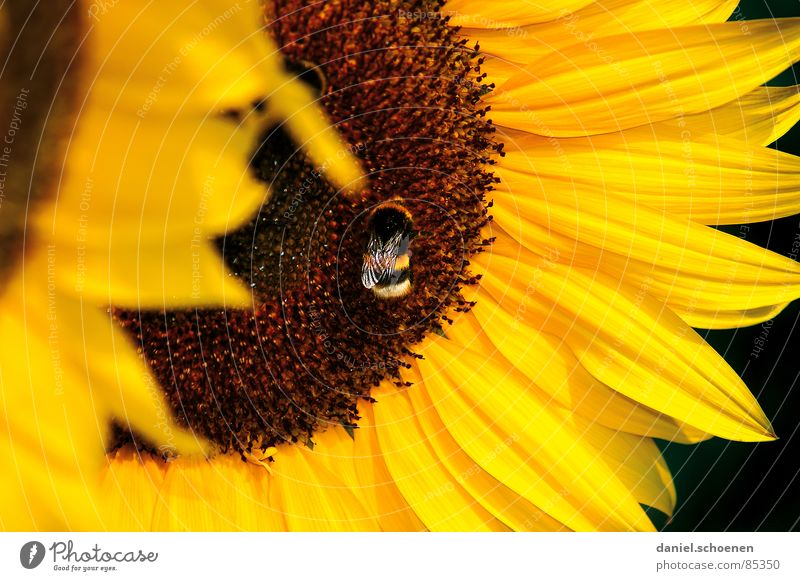 Nature Sky Plant Summer Yellow Blossom Flower Spring Warmth Brown Bee Sunflower To feed Ecological Pollen