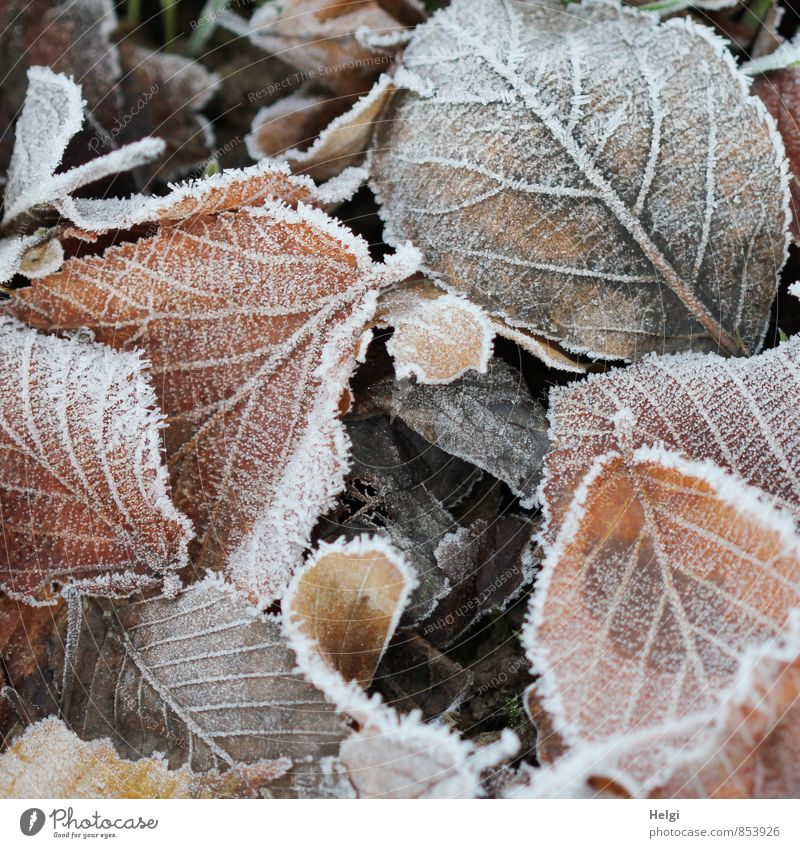 cold... Environment Nature Plant Winter Ice Frost Leaf Park Freeze Lie To dry up Authentic Exceptional Cold Natural Brown White Moody Calm Esthetic Uniqueness