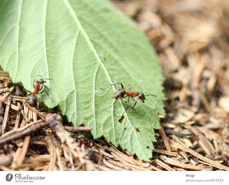tiny woodland dwellers... Environment Nature Plant Animal Summer Beautiful weather Leaf Fir needle Forest Wild animal Ant Waldameise 2 Work and employment