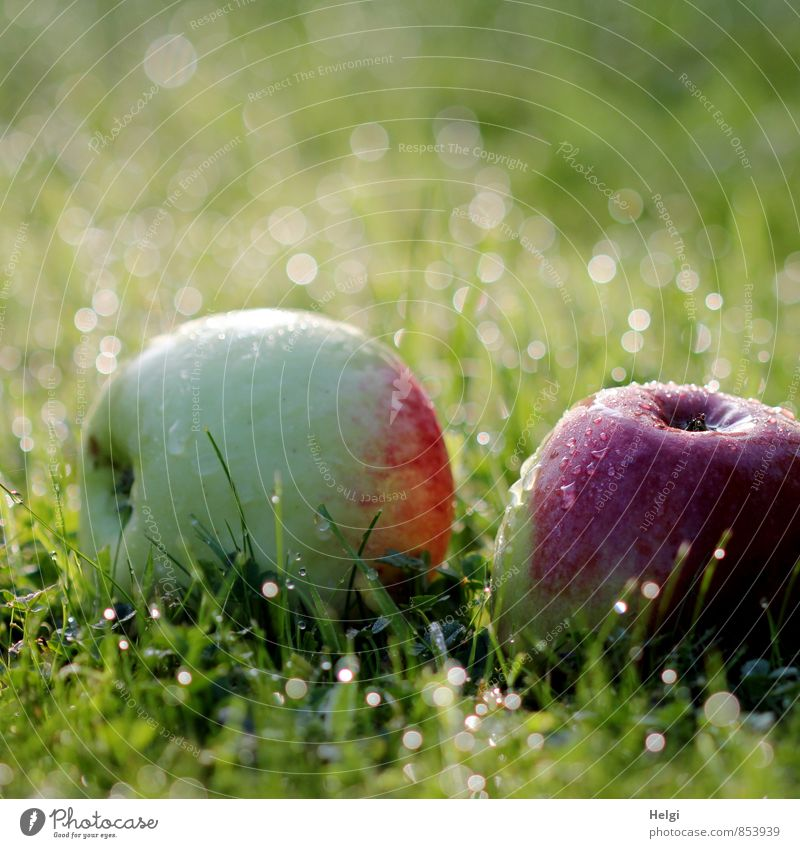 windfall Food Fruit Apple Organic produce Vegetarian diet Environment Nature Plant Drops of water Autumn Beautiful weather Grass Foliage plant Garden Meadow