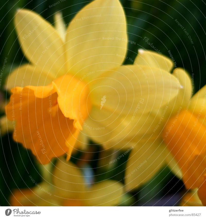 Colour Flower Yellow Spring Garden Jump Orange Seasons Ease Garden Bed (Horticulture) Fairy Resurrection Calyx Narcissus Wild daffodil
