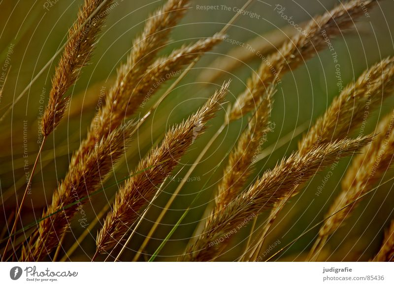 Beautiful Summer Yellow Meadow Grass Orange Wind Gold Glittering Transience Soft Delicate Pasture Stalk Blade of grass Smooth
