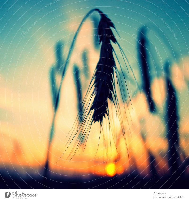 rye in sunset Sun Agriculture Forestry Nature Landscape Plant Agricultural crop Yellow useful life Rye Ear of corn Sunset Orange Cyan Planning useful plant