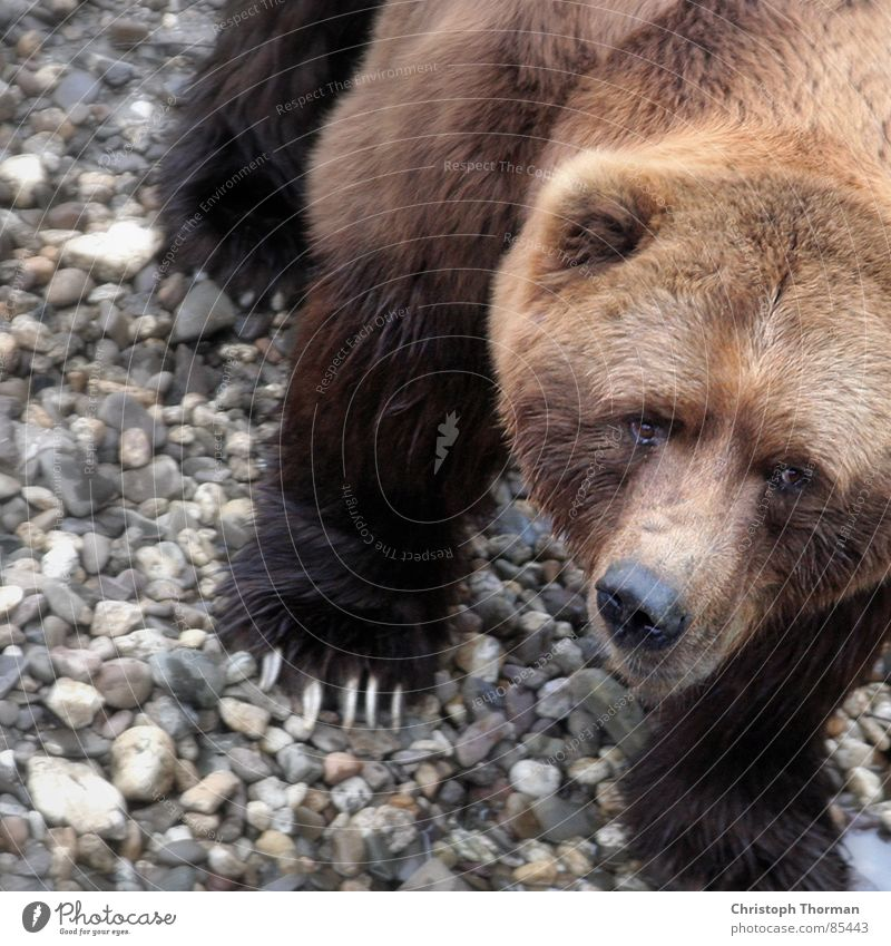I just want to play. Brown bear Paw Grizzly Land-based carnivore Animal Monster Hunter Dangerous Risk Strong Heavy Force Macho Boast Fantastic Alaska Wilderness