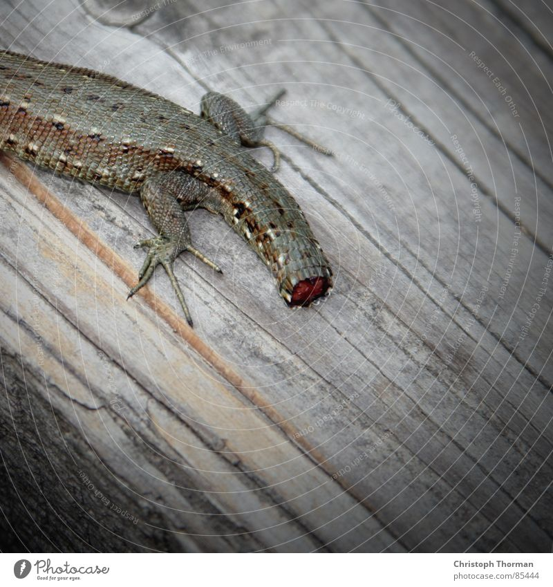 Dick off! Growth Animal Mutilation Pattern Lizards Saurians Reptiles Tails Wound Renewal New start Claw Green Brown Wood Joist Vignetting Living thing