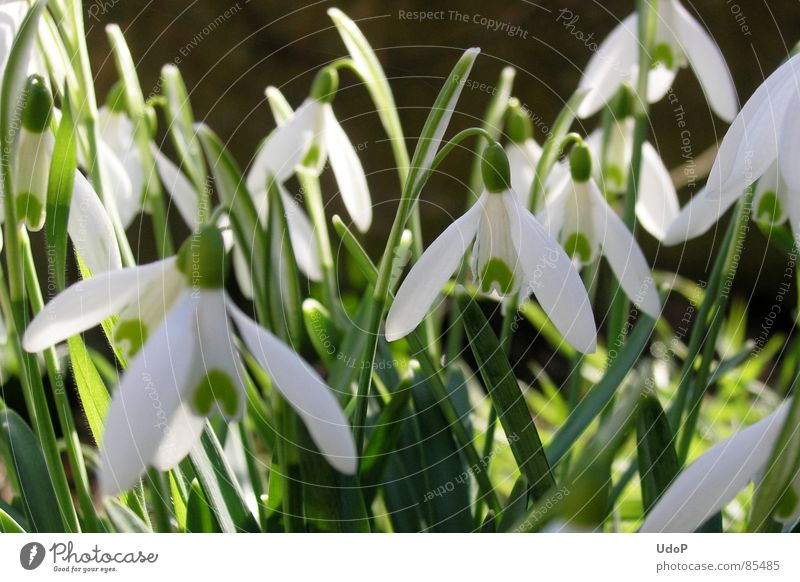 White Green Garden Spring Multiple Many Snowdrop Illuminating Translucent Spring flowering plant