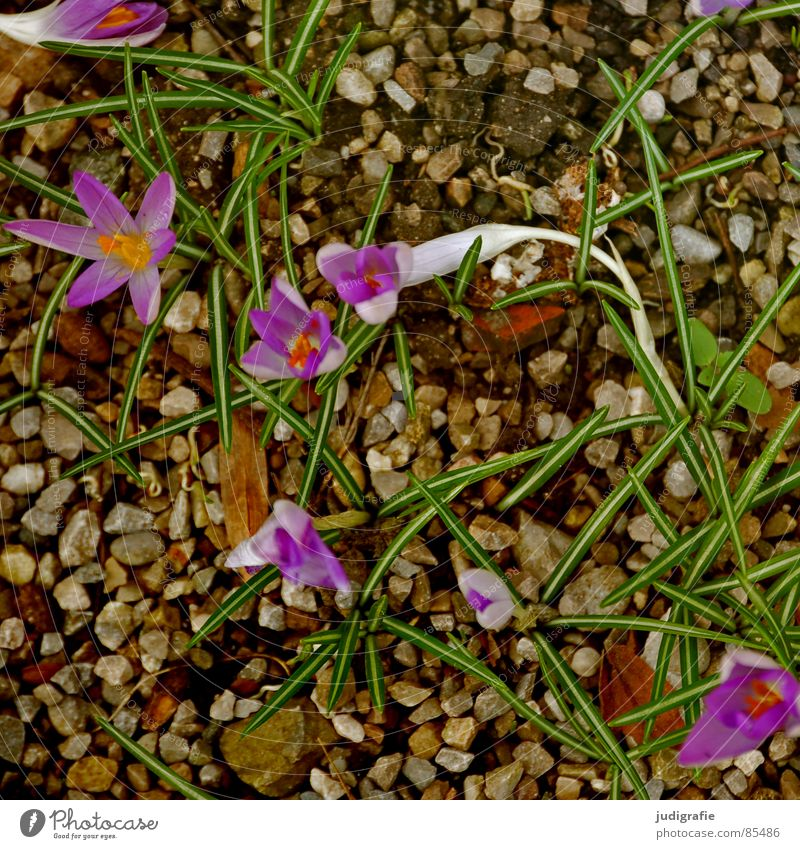 spring Crocus Flower Spring Spring flowering plant Pebble Growth Violet Green Blossom Bird's-eye view Delicate Sprout Stone Minerals irises Nature Onion