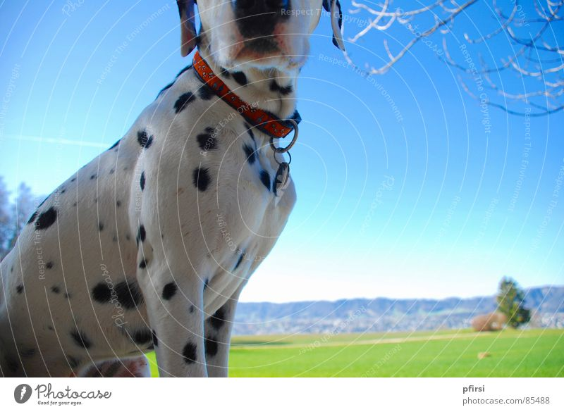 Point Spring Dalmatian Green Horizon Dog To go for a walk Meadow Green space Dandelion Vantage point Grass Mammal chien Sun enzo Walk the dog Perspective