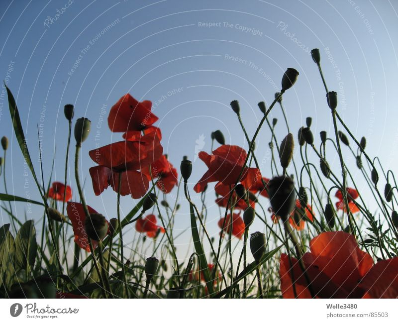 Sky Red Summer Blossom Stalk Poppy Celestial bodies and the universe Canopy (sky) Poppy field Canopy of stars