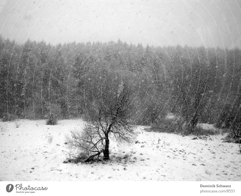 White Tree Winter Black Forest Snow Meadow Gray Gloomy Dreary Leafless