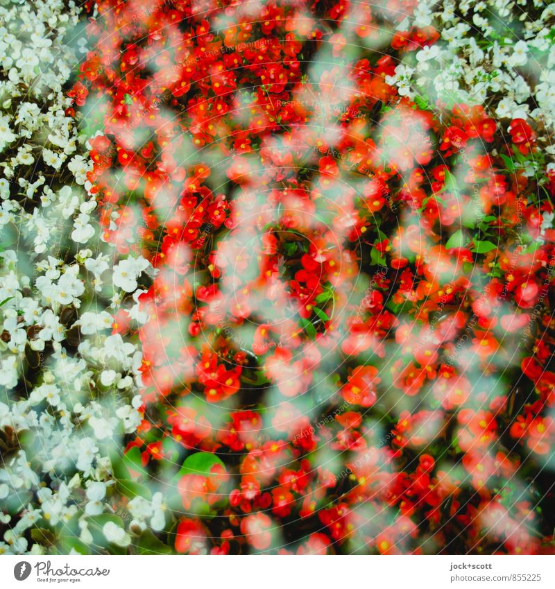 Nature Beautiful Colour White Summer Red Flower Warmth Natural Happy Park Arrangement Growth Decoration Free Esthetic