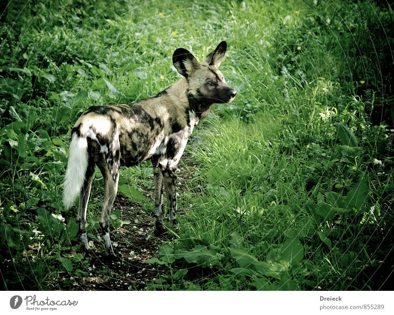 hyena Environment Nature Grass Bushes Foliage plant Park Meadow Forest Virgin forest Animal Wild animal Pelt Zoo Hyaena 1 Looking Stand Athletic Gray Green