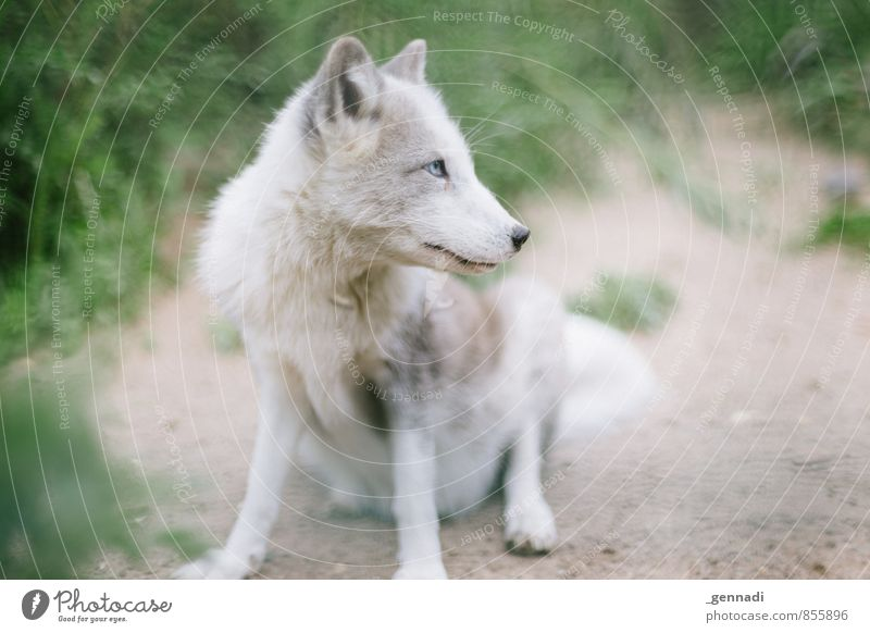 snow fox Animal Wild animal Fox White Baby animal Dog Pure Innocent Zoo Colour photo Deserted Copy Space left Copy Space right Day Animal portrait