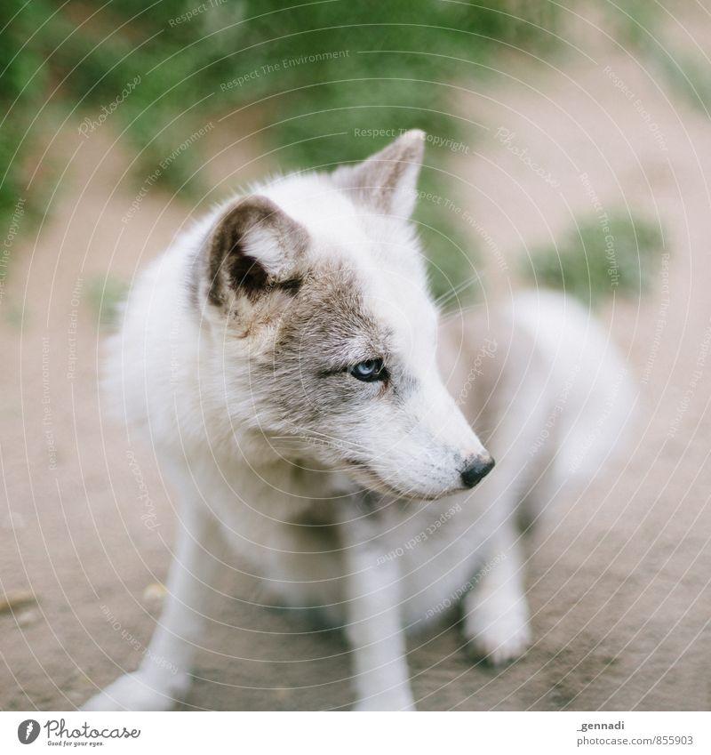 Dog Blue Beautiful White Animal Eyes Small Cute Ear Pelt Love of animals Wolf Fox