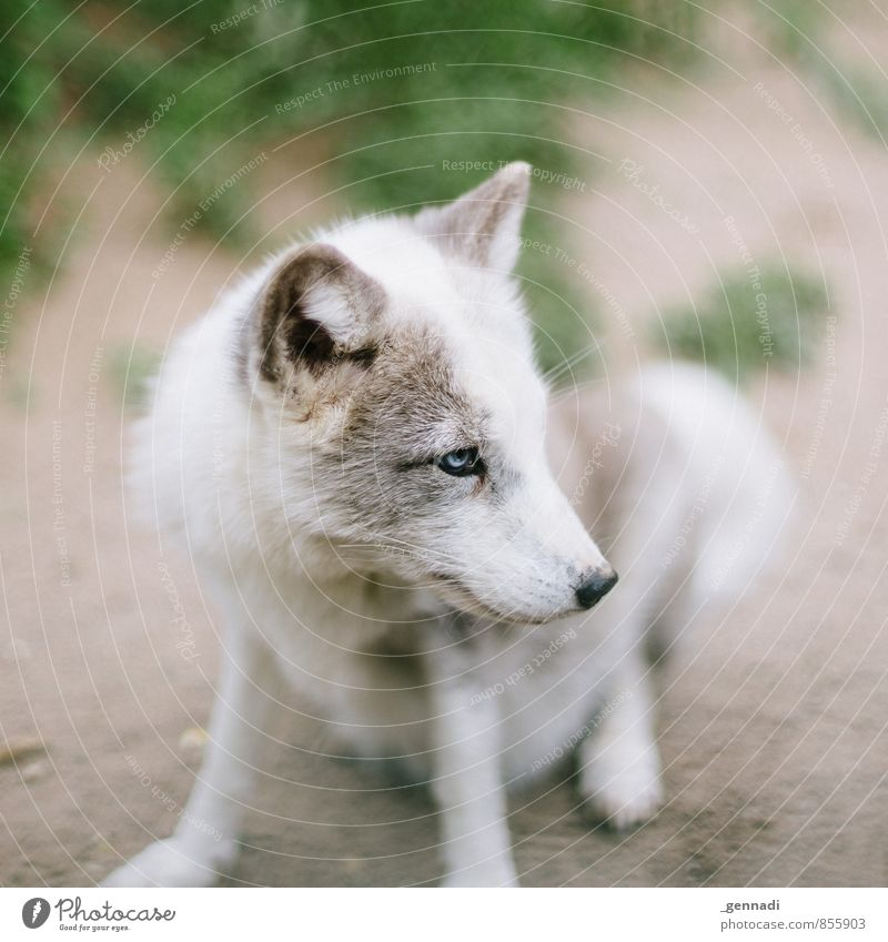 ice ice Dog Fox Wolf Love of animals Beautiful Cute Small Pelt White Blue Eyes Animal Ear Colour photo Day Shallow depth of field Central perspective Forward
