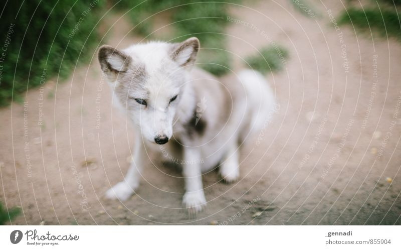 16 to 9 Wild animal Fox Animal Baby animal Ear Soft Beautiful White Snout Zoo Colour photo Copy Space left Copy Space right Day Animal portrait