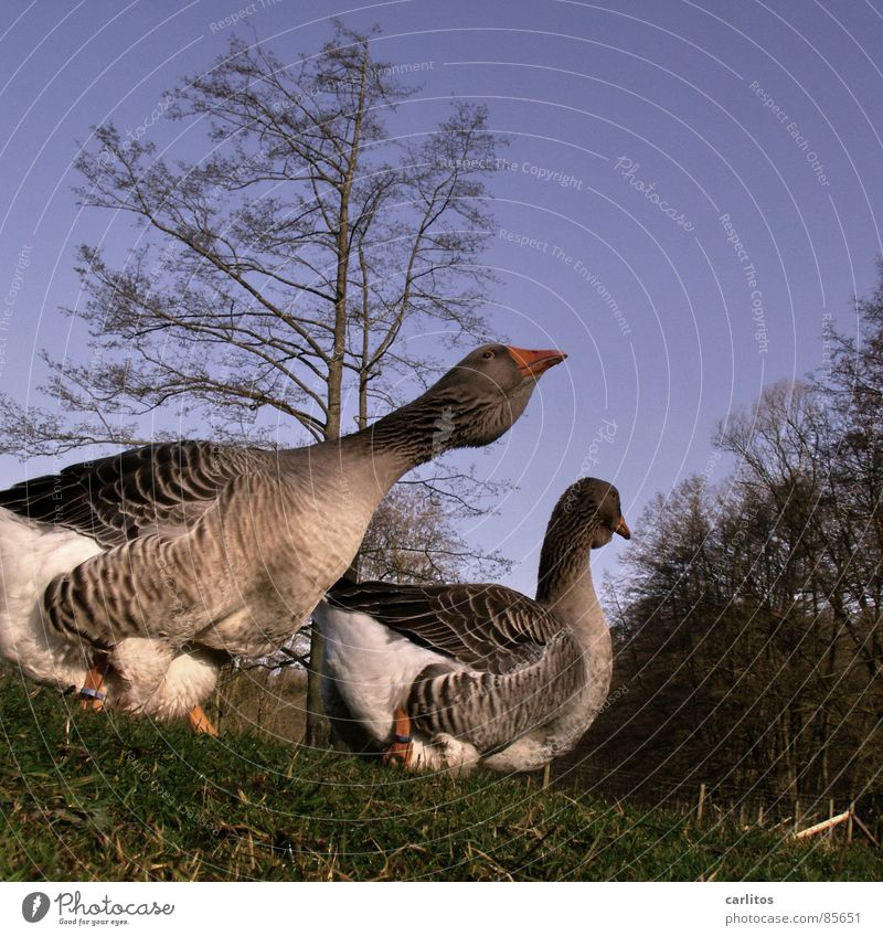 two more stupid geese Goose Country life Farm Roasted goose Agriculture Ranch Grass Barn Meadow Worm's-eye view Spring Gooseflesh Nutrition Bird