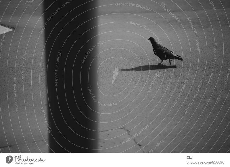 16:40:01 Street Lanes & trails Animal Wild animal Pigeon Pole Asphalt Observe Walking Gloomy Shadow play Black & white photo Exterior shot Deserted