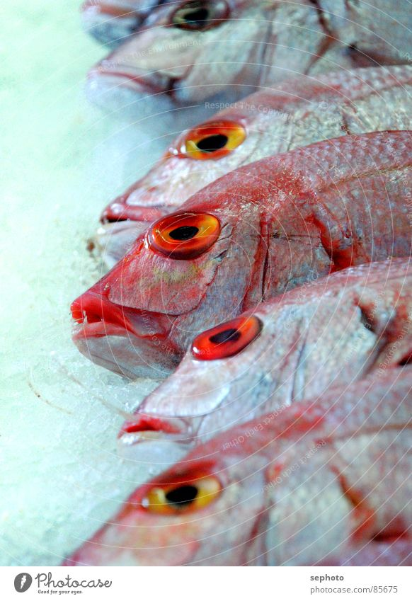 Pescado muerto Ocean perch Fish shop Markets Fresh Red Shop window Fish market Nutrition Frozen Atlantic Ocean Fish head Gill Ice Sell Fishery Gastronomy