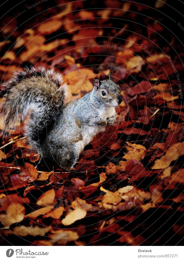 squirrels Environment Nature Autumn Leaf Park Forest Animal Wild animal Animal face Pelt Squirrel 1 Looking Stand Cute Brown Orange Silver White Colour photo