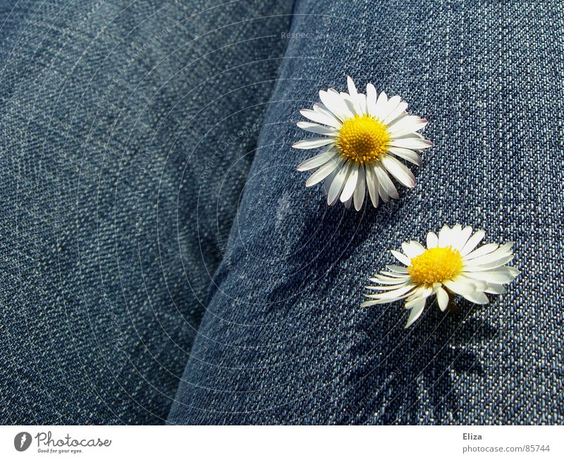 Two daisies on blue jeans fabric Daisy Summer Sunbathing Decoration Plant Spring Beautiful weather Flower Blossom Clothing Pants Jeans Blossoming Esthetic Brash