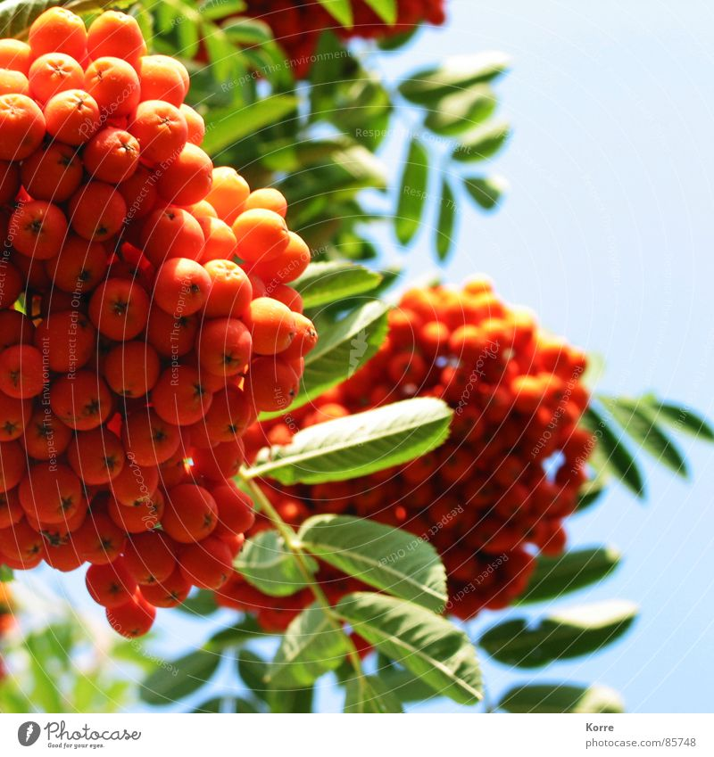 Nature Beautiful Sky Plant Summer Spring Garden Park Orange Environment Fruit Fresh Berries Juicy Gaudy Cloudless sky