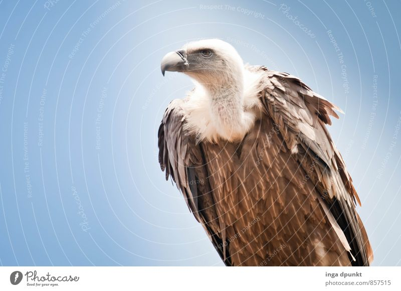 No celebration without vultures Environment Nature Animal Sky Wild animal Pigeon Bird of prey Vulture Scavenger 1 Sit Pride Symbols and metaphors Strong Power