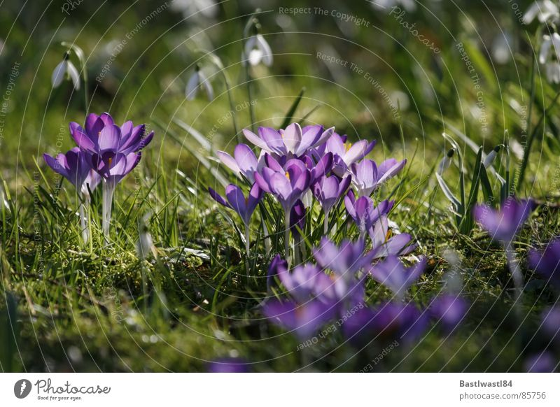 Crocuses and snowdrops Snowdrop Grass Meadow Spring Flower Blossom Green Garden Bed (Horticulture) Blossoming Flowerbed Pollen in full bloom Lawn