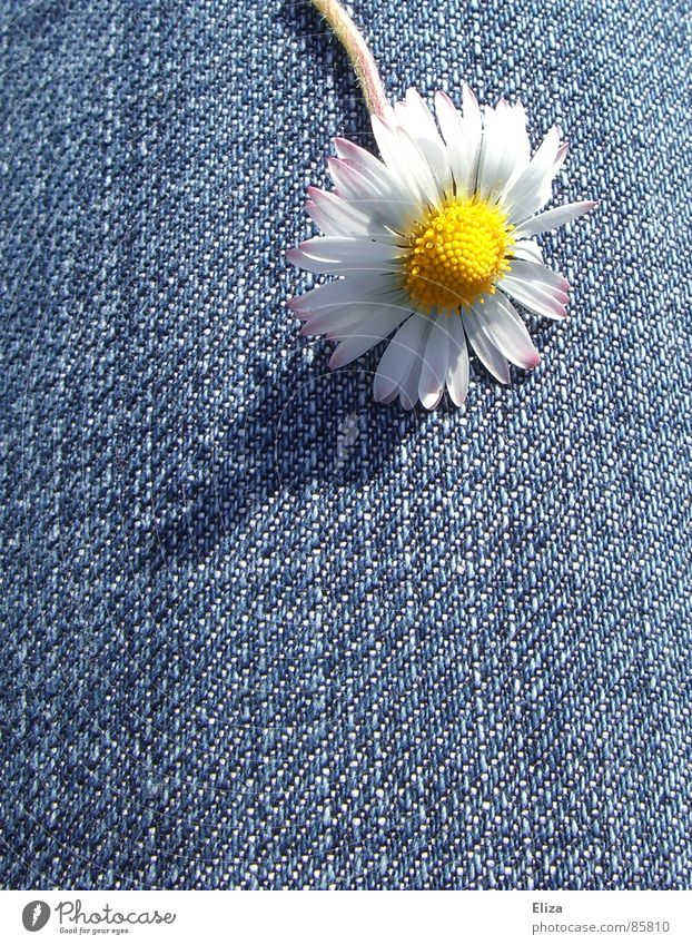 A daisy on jeans in the sunshine in summer Daisy Blossom Spring Flower Blossoming Blossom leave Pollen Yellow Shadow Brash Dance Summer Denim Plant Playing Head