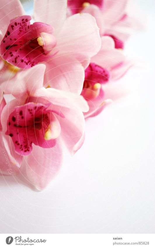 Flower Red Emotions Playing Pink Elegant Romance Soft Delicate Noble Orchid Graceful Fragile Painted Lovely Supple