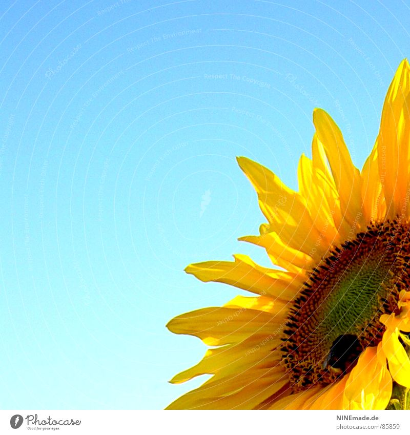 sunny flower mellia ... with bumblebee Accumulate Sunflower Yellow Blossom Bumble bee Honey Summer Physics Blossom leave Collection Good mood Joy Sunflower seed
