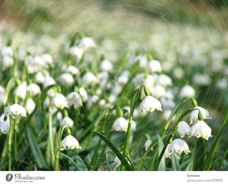 sea of spring Environment Nature Spring Plant Flower Meadow Blossoming Hang Growth Fragrance Beautiful Many Green White Spring fever Spring flower Snowdrop