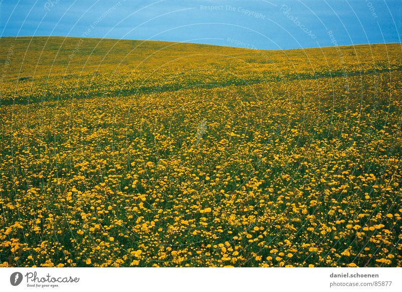 Spring!!! Summer Dandelion Blossom Flower Flower meadow Leisure and hobbies Background picture Yellow Green Light blue Beautiful Abstract Horizon Meadow