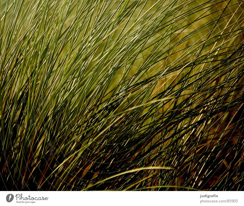 Nature Green Summer Environment Dark Meadow Grass Wind Growth Soft Delicate Baltic Sea Stalk Gale Blade of grass Flexible