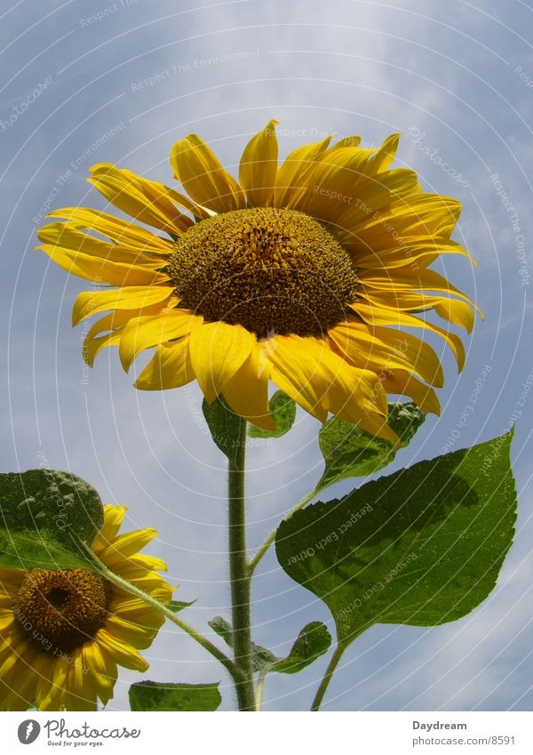towards the sun Sunflower Flower Yellow Summer Sky Blue