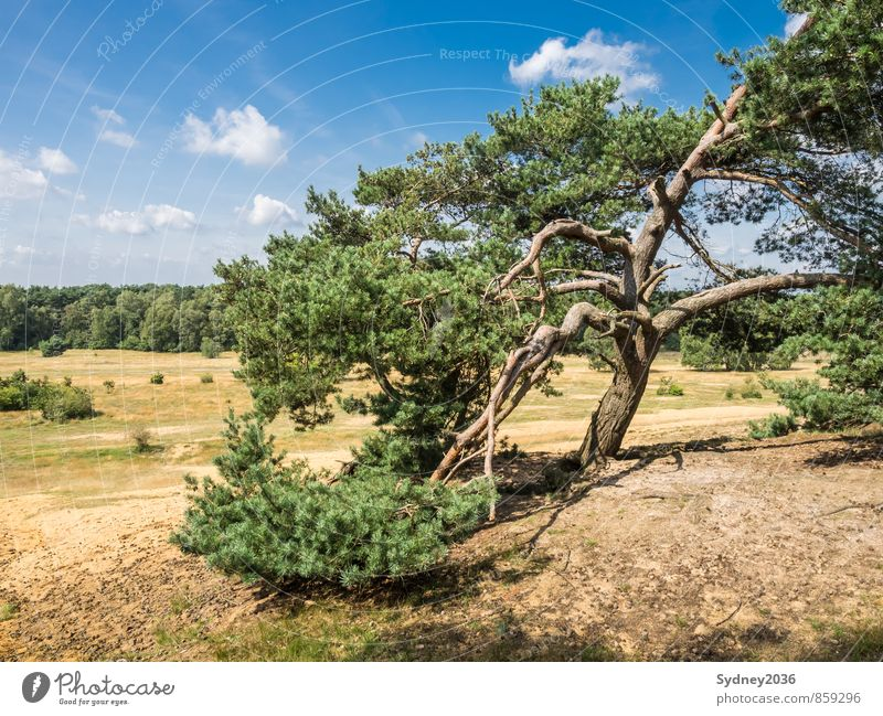 Pine after the storm Earth Sand Sky Sky only Clouds Climate Weather Beautiful weather Wind Gale Plant Tree Grass Bushes Wild plant Forest Bizarre Tree bark