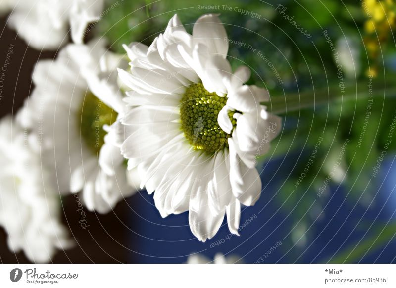 White Flower Green Plant Spring Bright Growth Fragrance Bouquet Marguerite