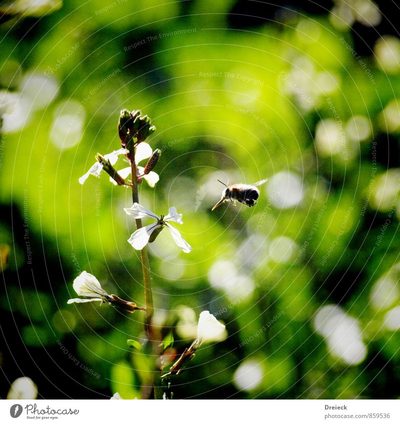 On approach Nature Plant Sunlight Summer Flower Blossom Foliage plant Wild plant Meadow Animal Bee 1 Flying Colour photo Exterior shot Day Light Contrast