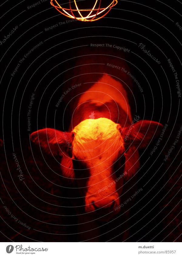 little calf Calf Cow Animal Bull Mammal Traffic light Warmth