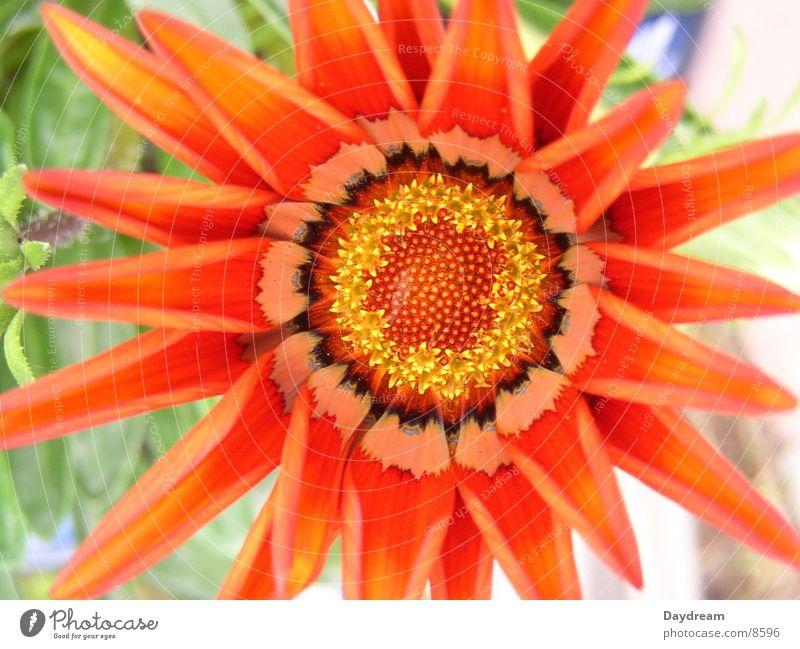 Red Leaf Blossom Pistil Macro (Extreme close-up) Livingstone daisy