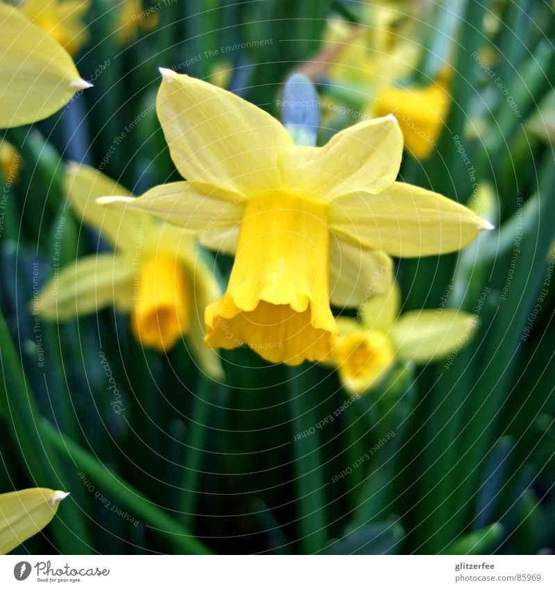 Green Yellow Spring Orange Garden Bed (Horticulture) Fairy Onion April Resurrection Narcissus Wild daffodil