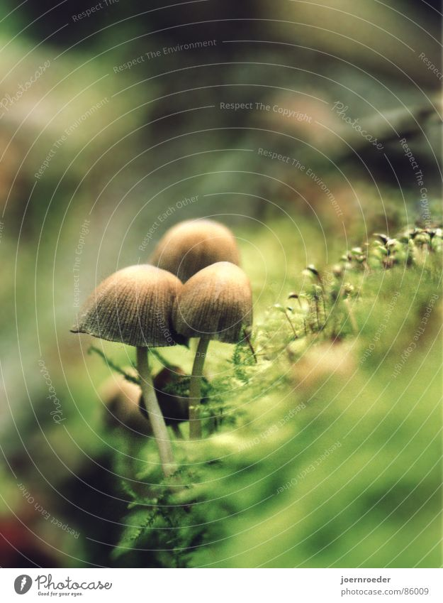 The Three on the Abyss Moss Brown Green Woodground Autumn Glade Grass Transport Three mushrooms at the edge of a tree trunk Mushroom Floor covering Ground