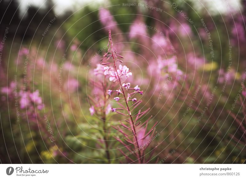 Nature Plant Flower Meadow Grass Blossom Garden Park Bushes Blossoming Foliage plant Wild plant Foxglove