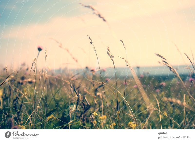 summer meadow Vacation & Travel Tourism Far-off places Summer Summer vacation Environment Nature Landscape Plant Flower Grass Wild plant Meadow Field Fragrance
